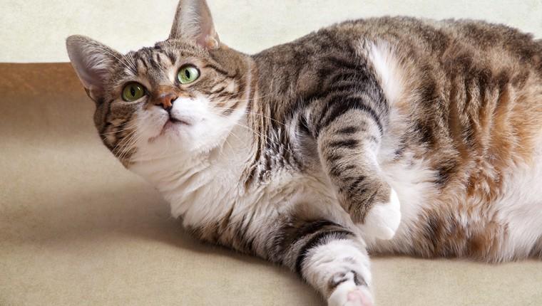 Sobrepeso y Obesidad en nuestras mascotas