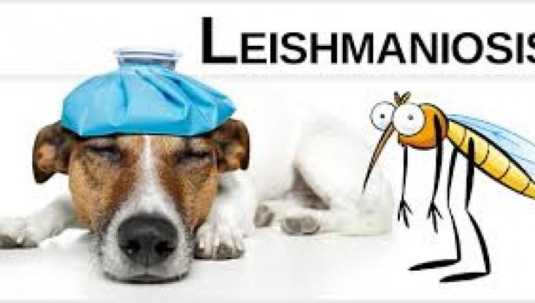 LEISHMANIOSIS: ENFERMEDAD CRONICA QUE SE PUEDE PREVENIR