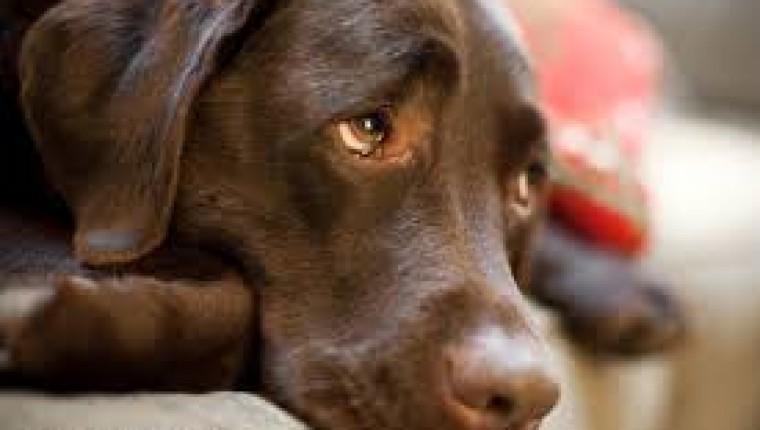 """Por qué los perros ponen """"ojitos"""" tristes?"""